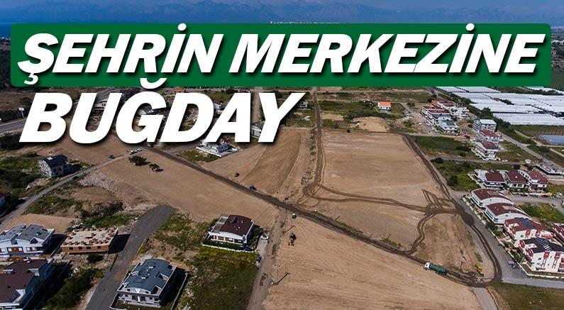 Ümit Uysal, Antalya'nın merkezine buğday ektirdi...